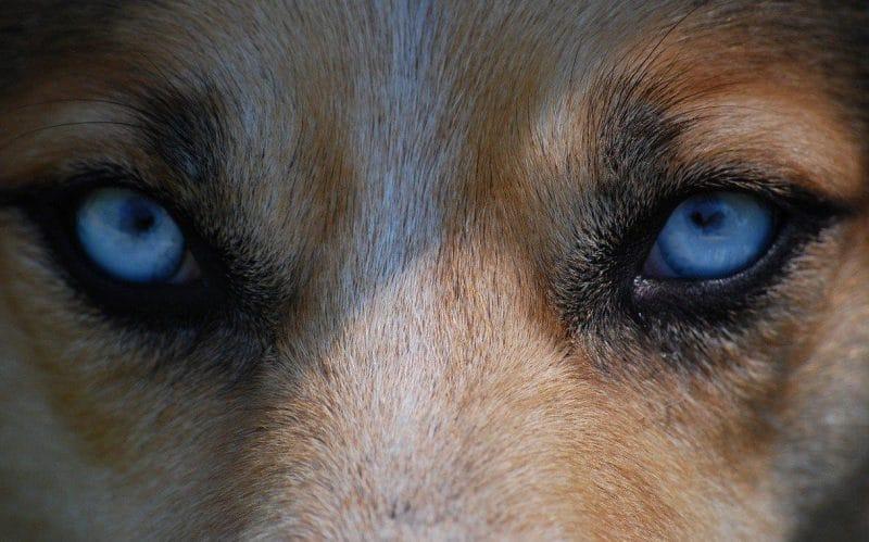 köpeklerde şaşılığın nedenleri