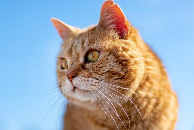kedilerde pireden nasıl kurtulunur