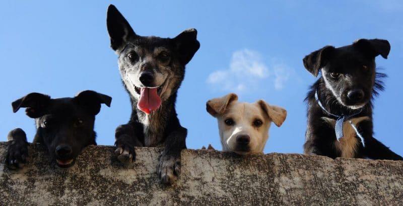 köpeklerde pire sorunu