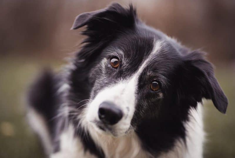 köpeklerde epilepsi nedenleri ve belirtileri