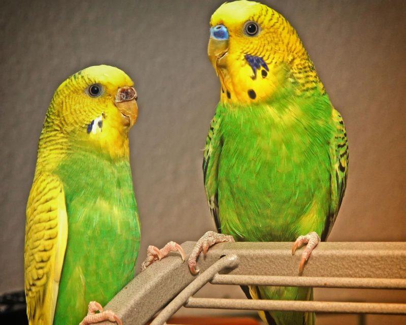 kuşlarda tüy yolma nedenleri ve önlemler