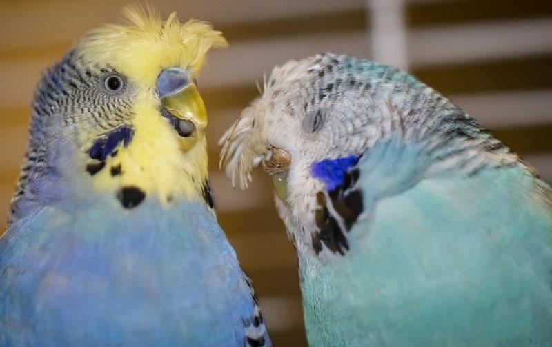 kuşlarda tüy yolma sorunu
