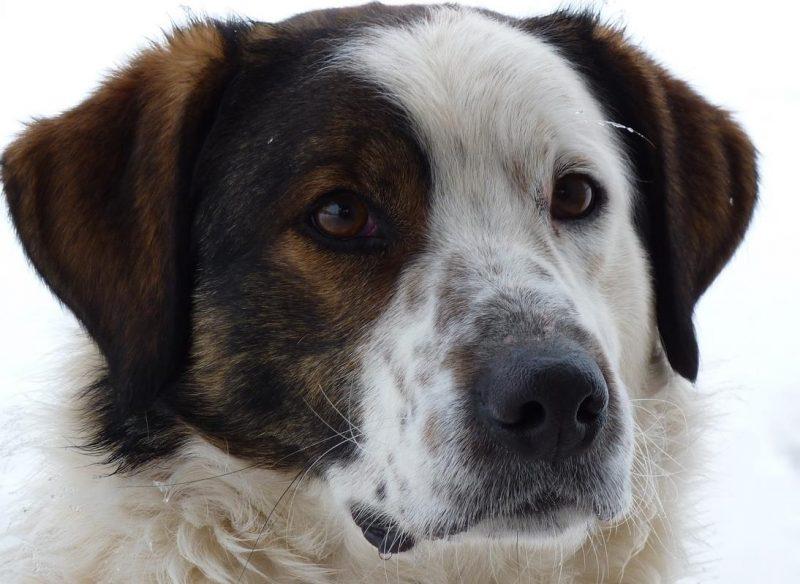 Yaşlı köpeklerin diş sorunu
