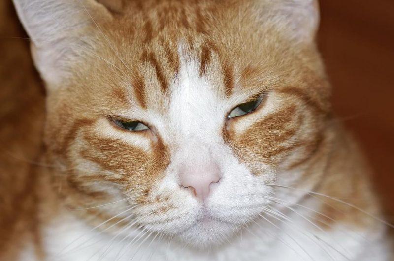 Kedilerde ağrı sorunu