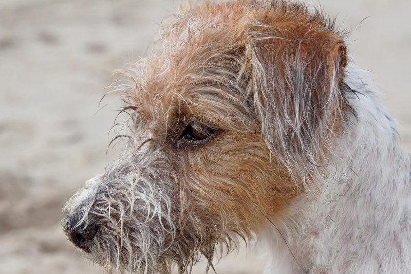 köpeklerde hepatit nedenleri ve belirtileri
