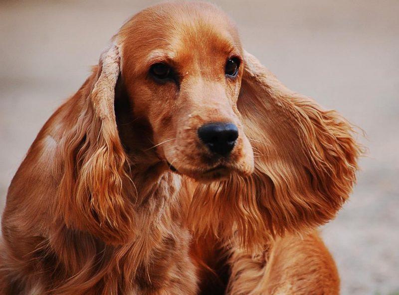 köpeklerde kulak akıntısı ve nedenleri
