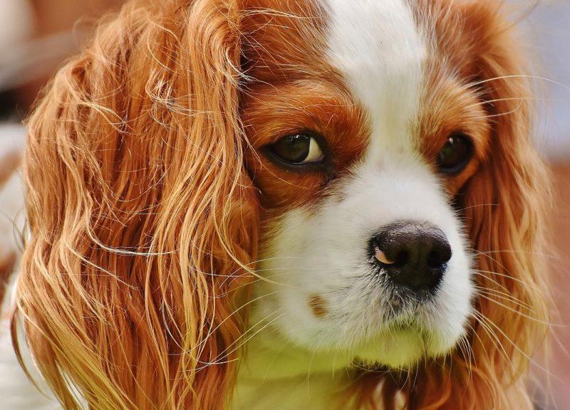 köpeklerde kulak akıntısı sorunu