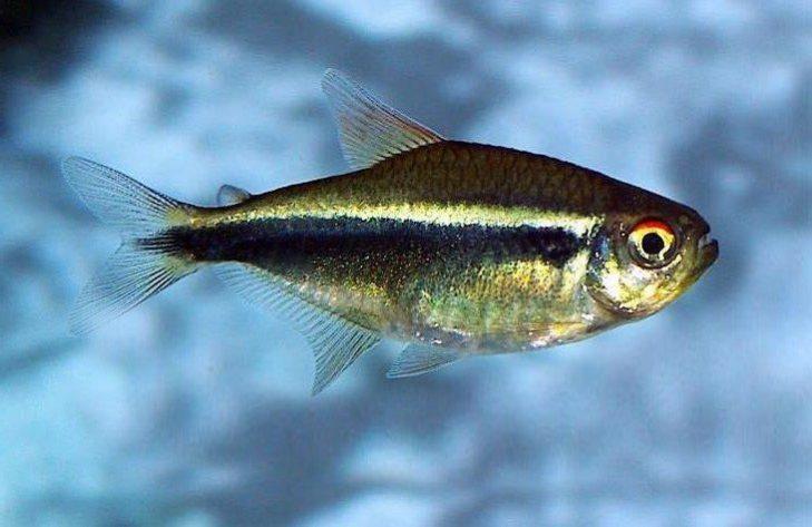siyah neon tetra balığı bakımı