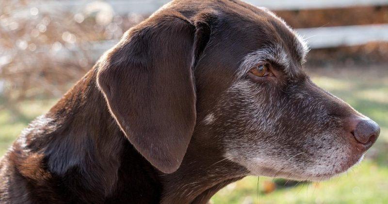 yaşlı köpek bakımı