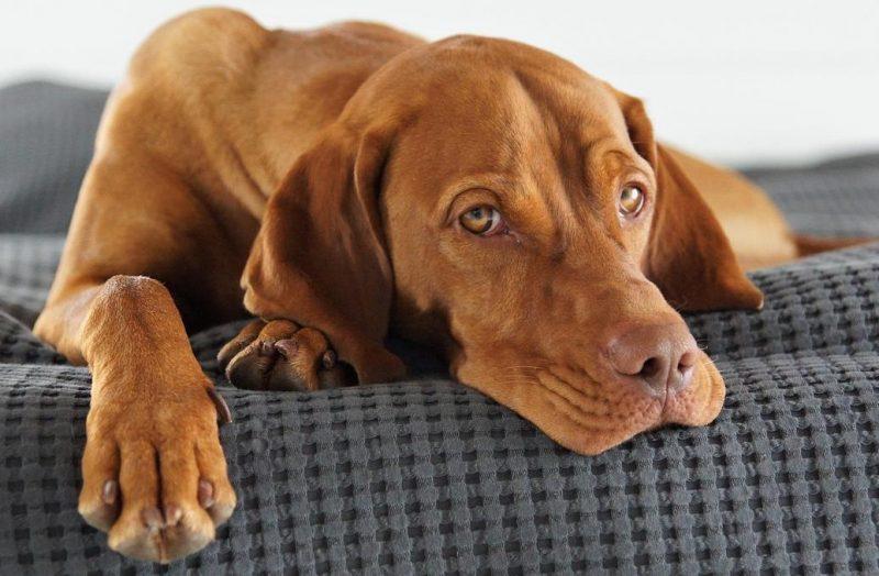 dişi köpeklerde kısırlık ve nedenleri