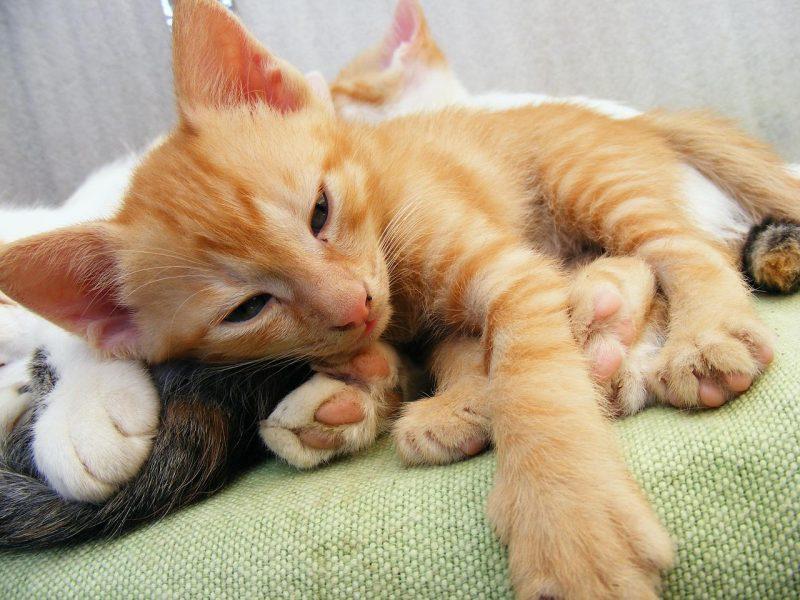 kedilerde karaciğer hastalıkları ve belirtileri