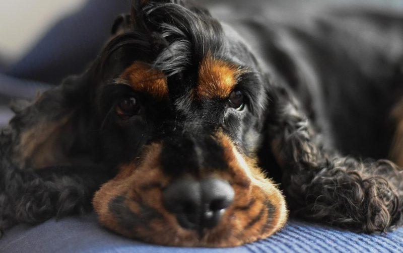 Köpeklerde ağız tümörleri