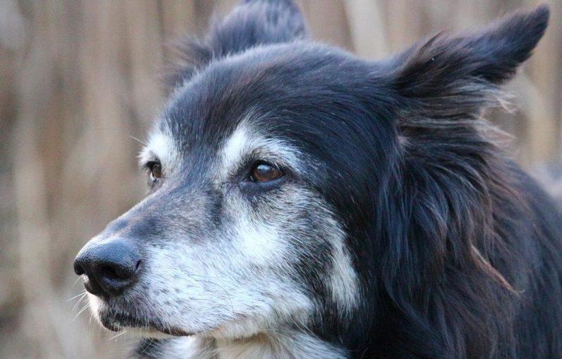 köpeklerde yaşlılık belirtileri