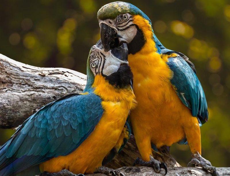papağan ateşi - psittacosis