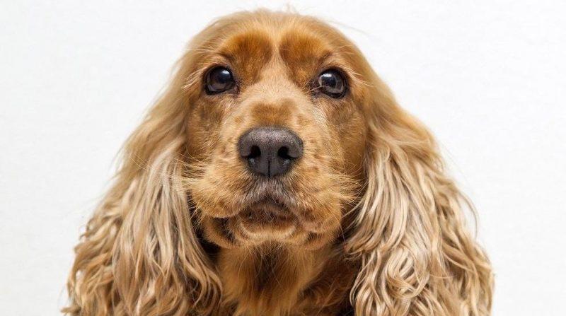ingiliz cocker spaniel köpeği bakım ve özellikleri