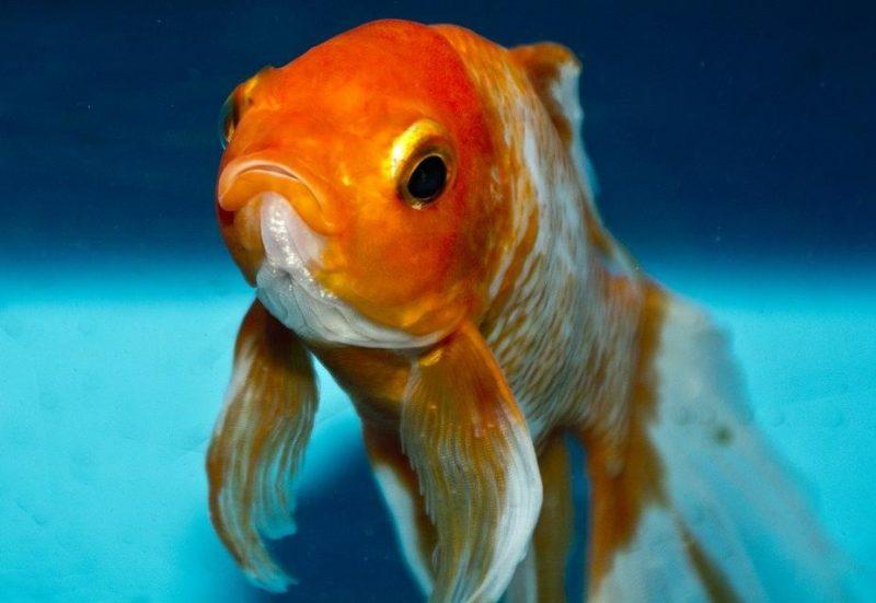 japon balığı (Goldfish)