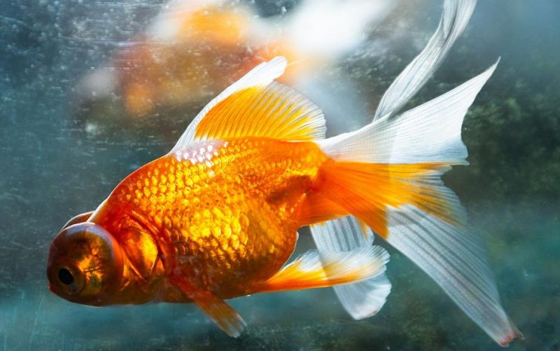 japon balığı bakımı ve beslenmesi