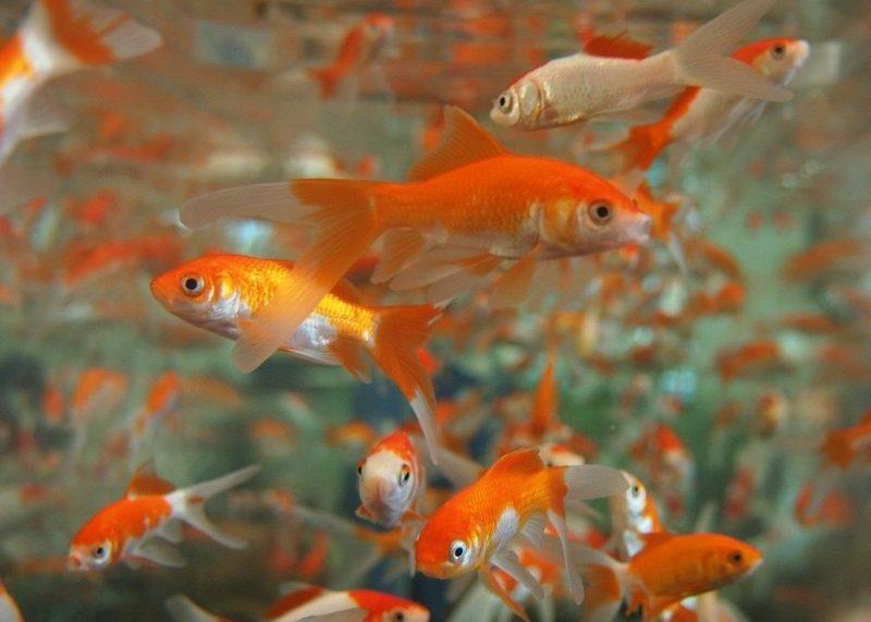 japon balığı türleri