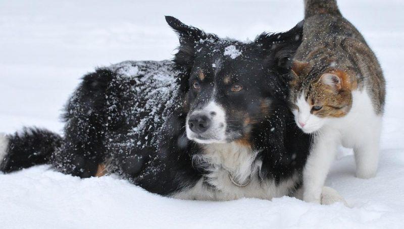 köpek kedi piresi ve neden olduğu hastalıklar