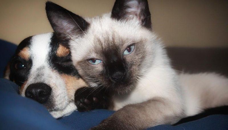 köpek piresi ve kedi piresi hakkında