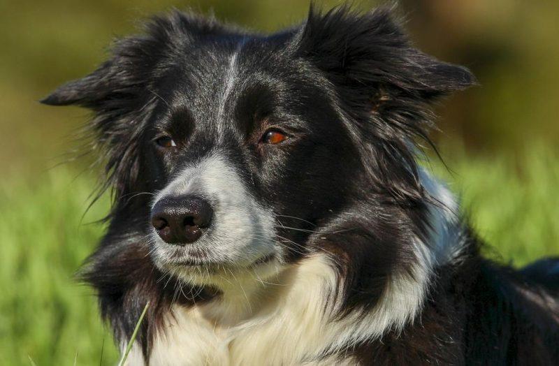 border collie ırkı köpeklerin özellikleri
