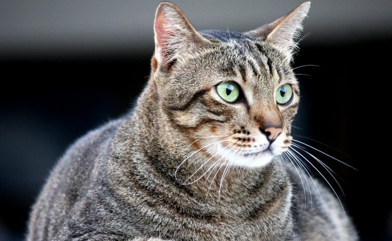 kedilerde anoreksi ve nedenleri
