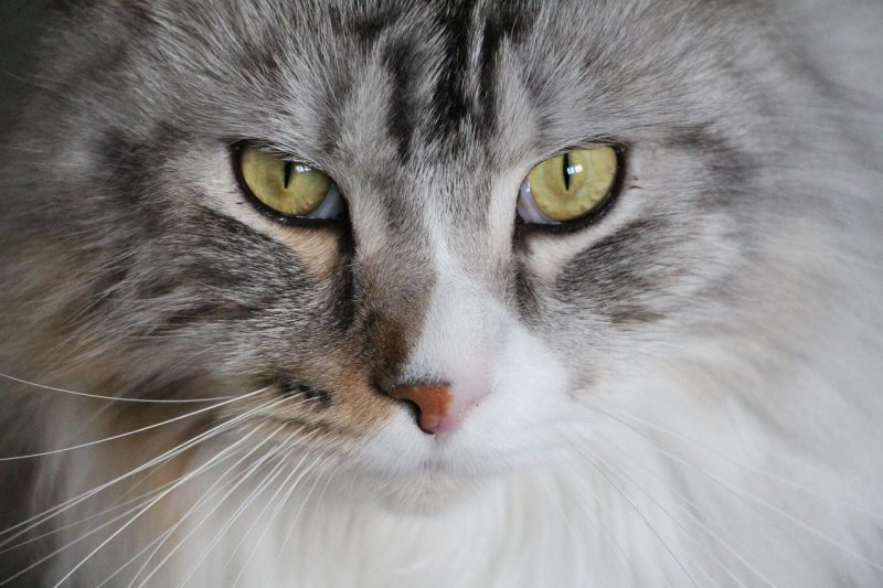 maine coon kedisi özellikleri ve bakımı