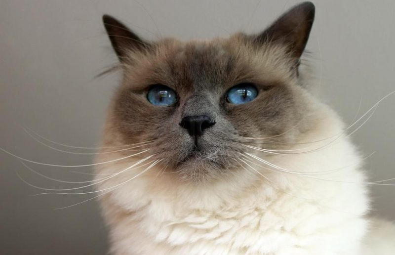 birman kedisi özellikleri ve bakımı