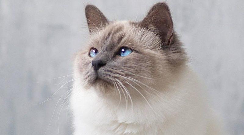 birman kedisi özellikleri