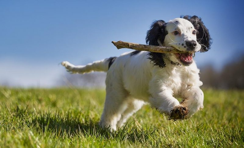 köpeklerde kalp yetmezliği