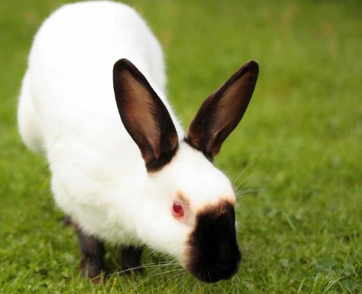 himalaya tavşanı özellikleri ve bakımı