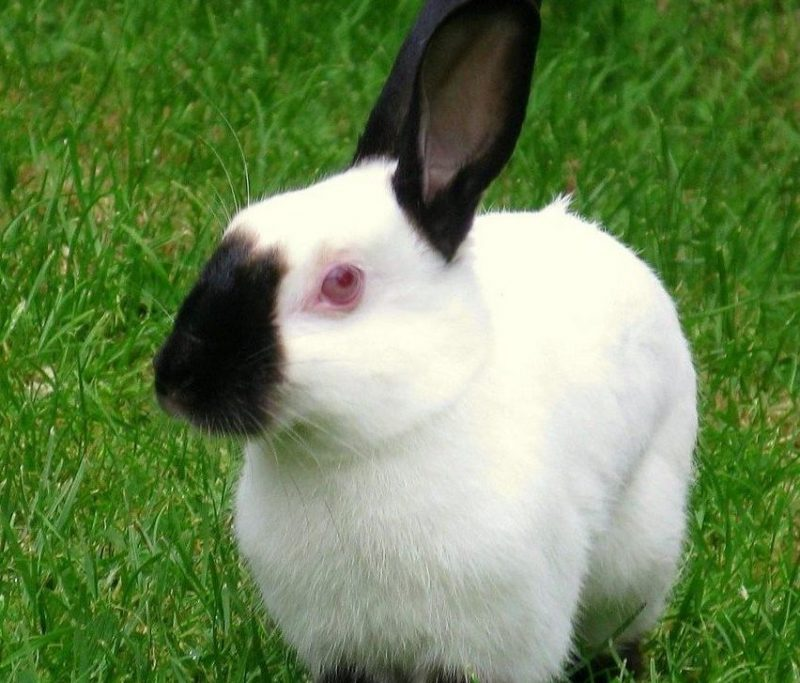 himalaya tavşanı