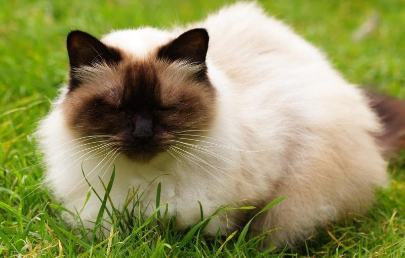himalayan kedisi ve özellikleri
