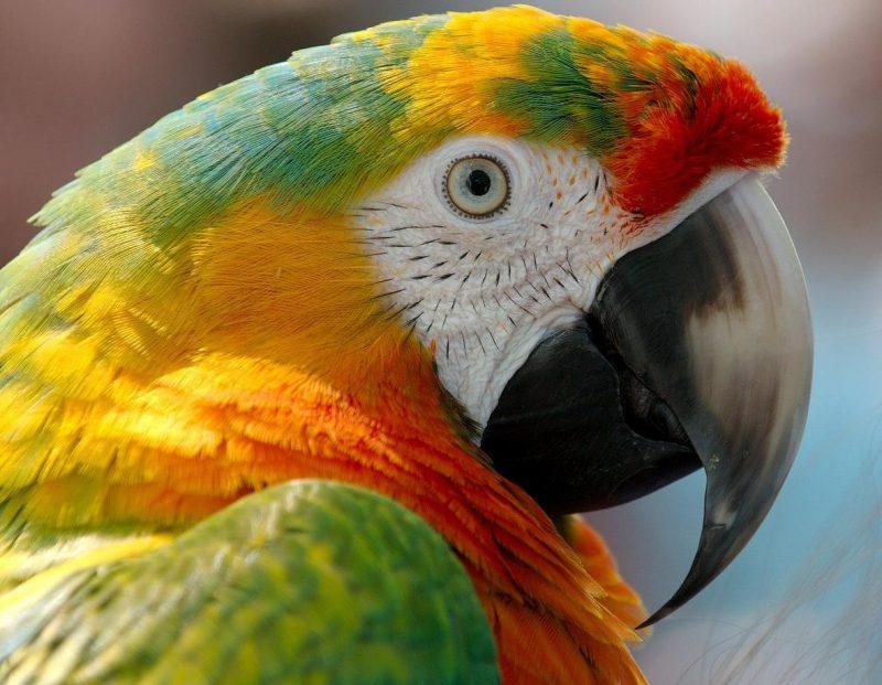 kuşlarda gaga kesimi nasıl yapılır