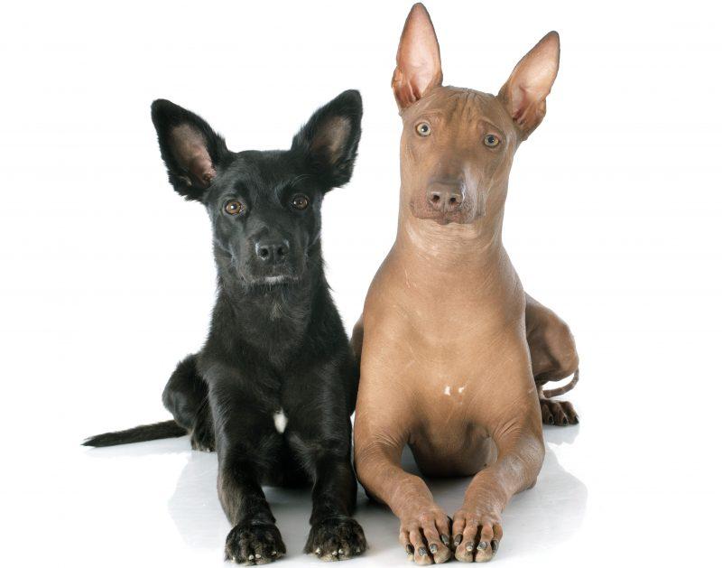 Peru İnka Köpeği