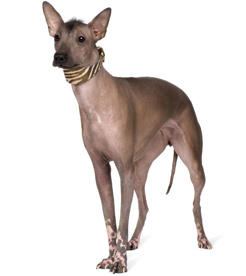 Peru İnka Köpeği Özellikleri