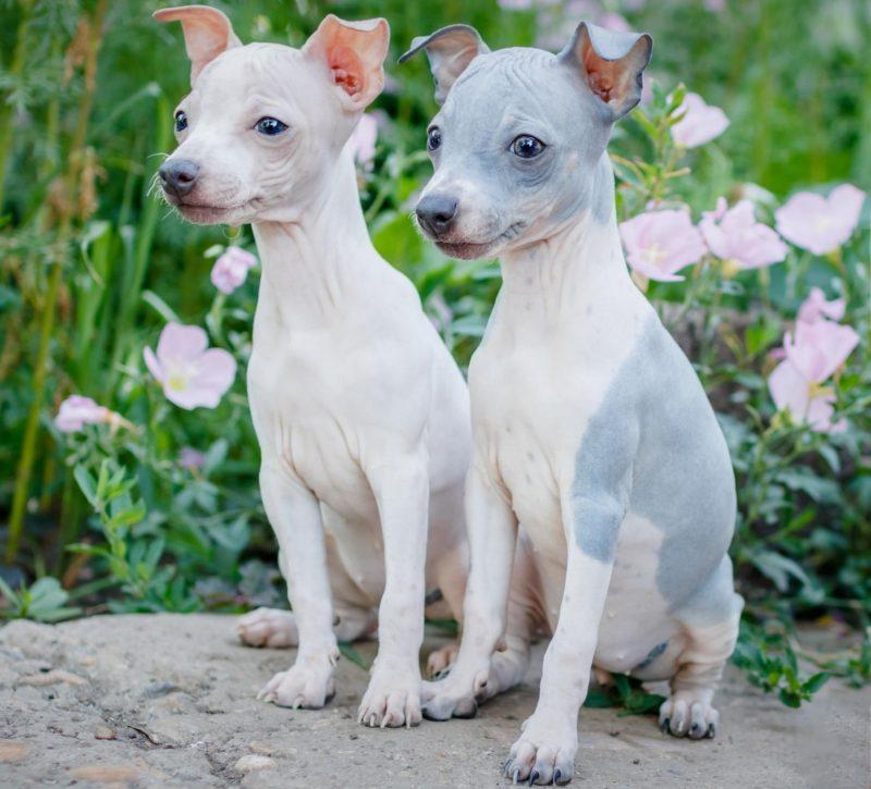 amerikan tüysüz terrier ve özellikleri