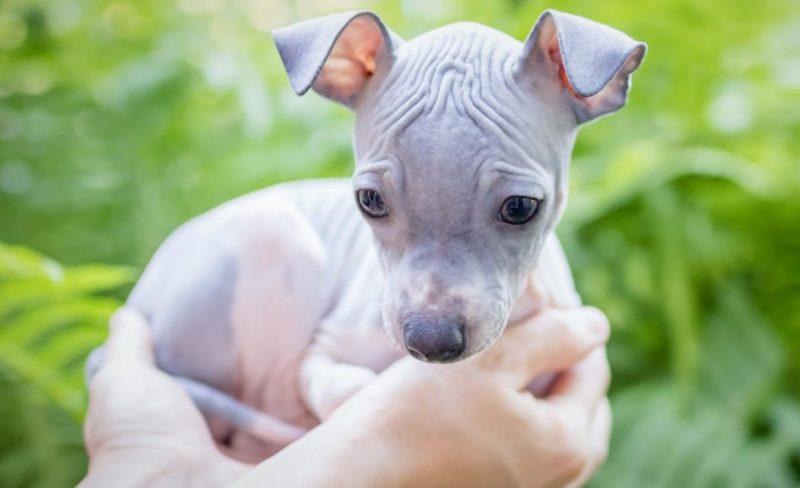 amerikan terrier tüysüz köpek cinsi