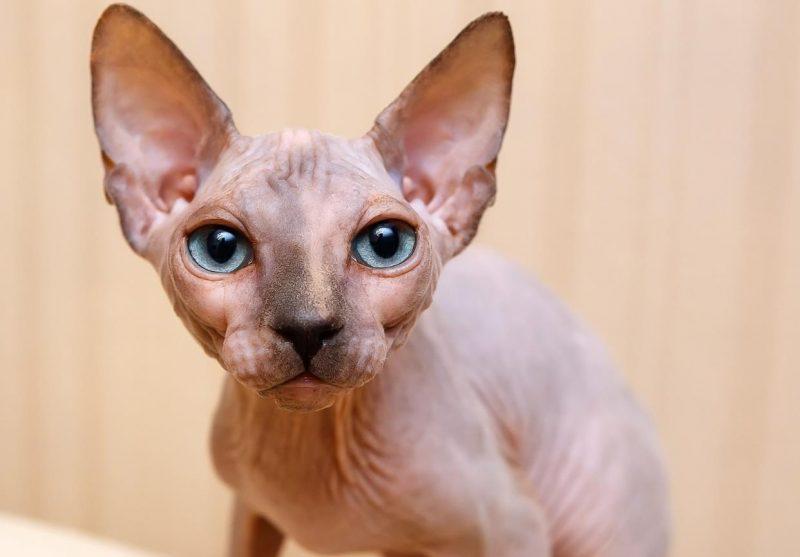 sfenks kedisi özellikleri ve bakımı