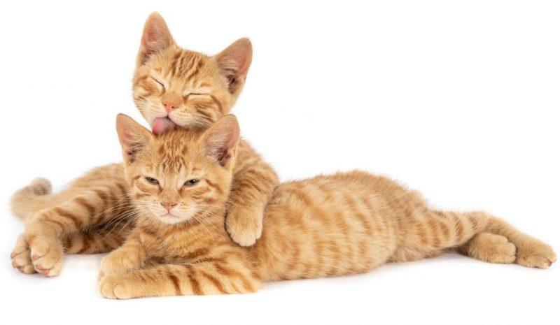 kedilerde taurin eksikliği