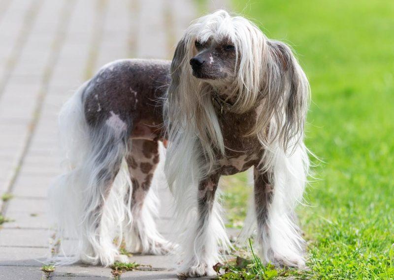 tüysüz köpek cinsleri ve özellikleri