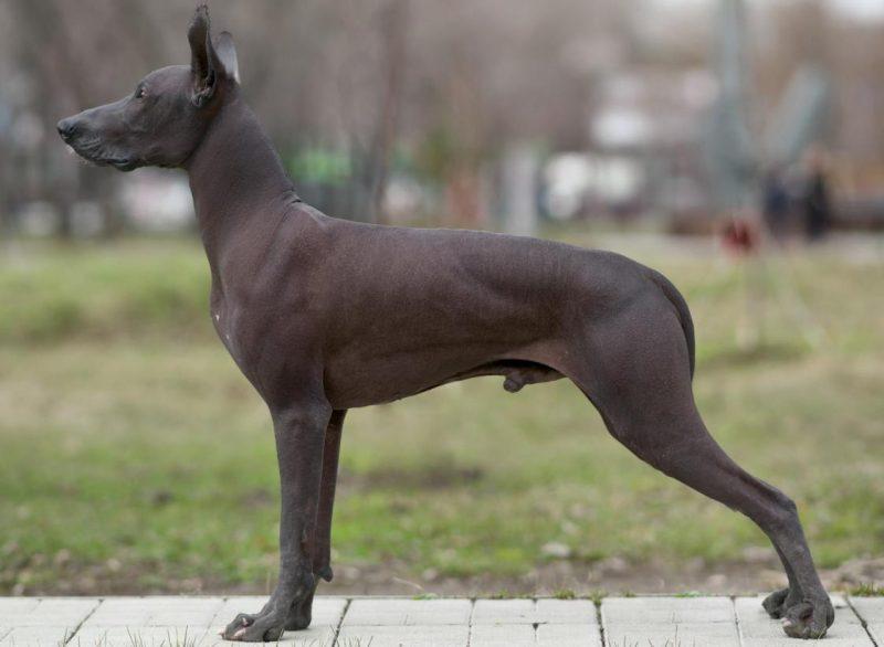 Meksika tüysüz köpeği