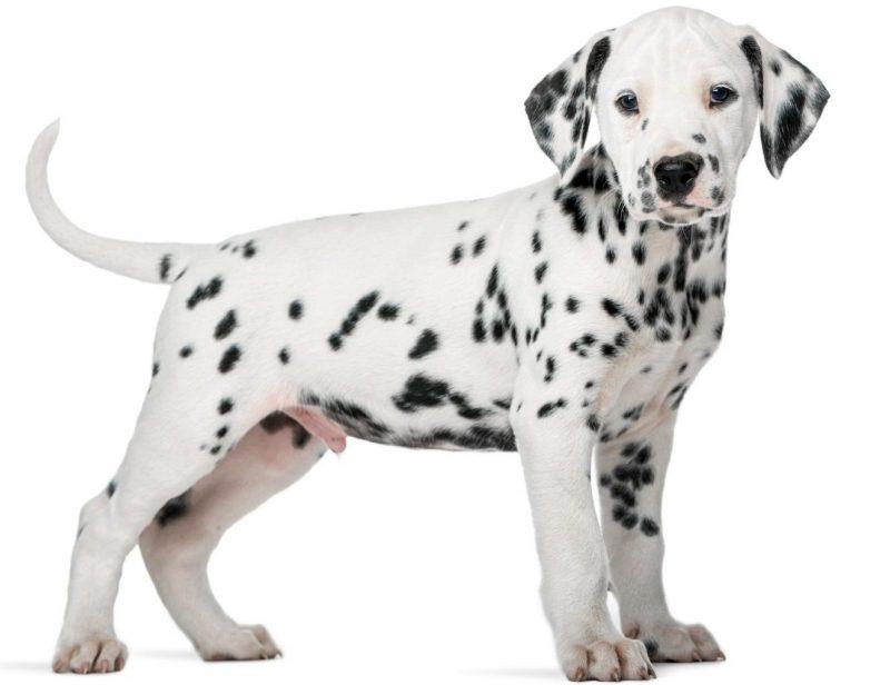 dalmaçyalı köpek ırkı ve özellikleri