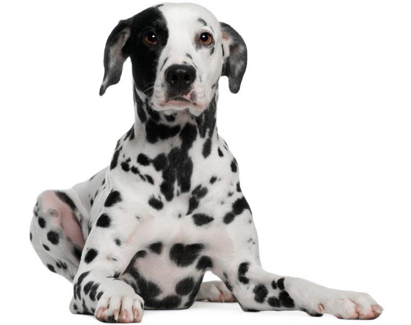 dalmaçyalı köpek cinsi