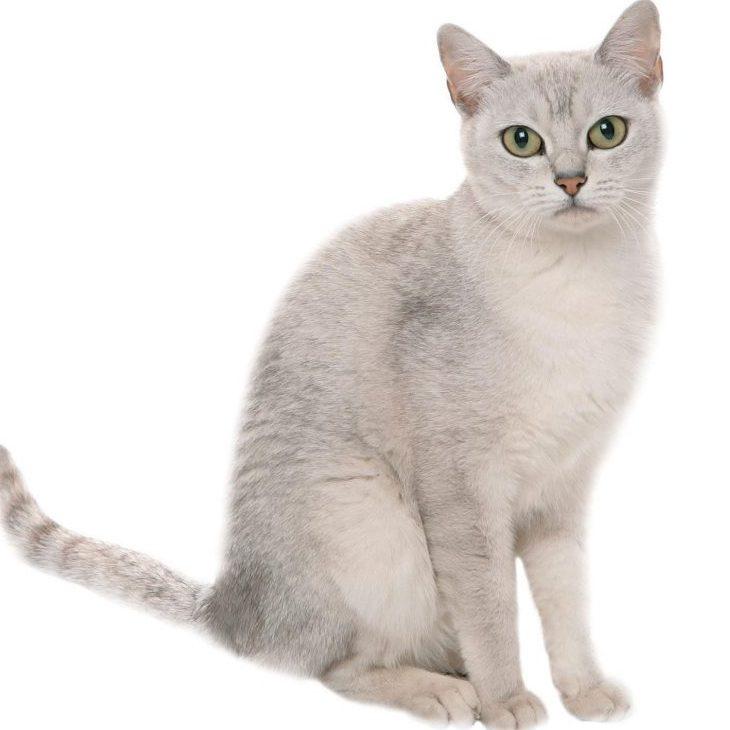 burmilla kedisi ve özellikleri