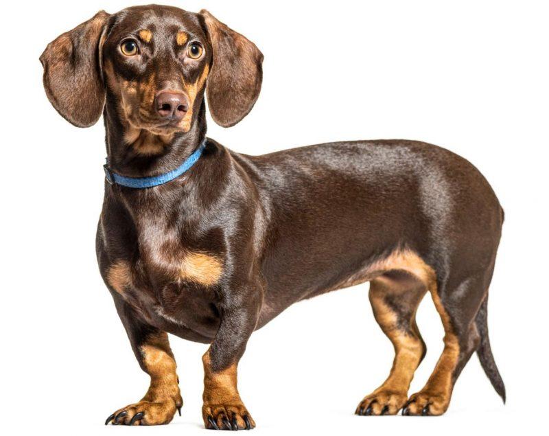 dachshund - sosis köpek özellikleri ve bakımı