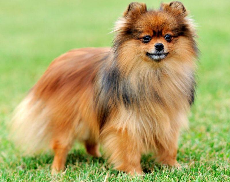 pomeranian ırkı köpek