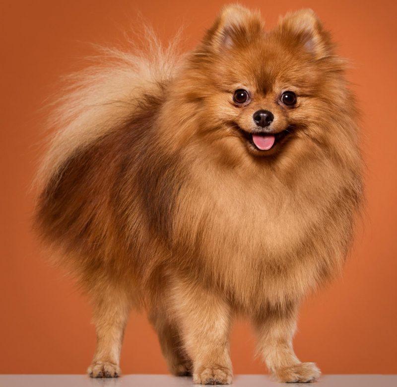 Pomeranian Irk Özellikleri